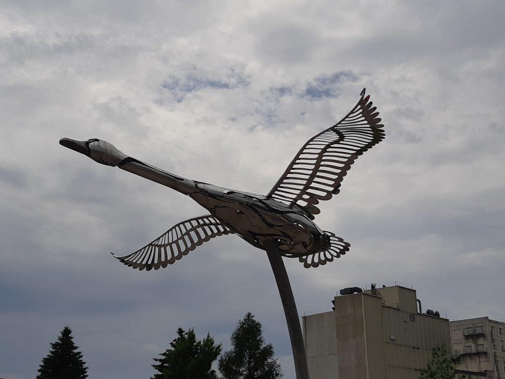 Trumpeter Swan in Midland