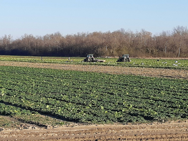 Field with spinach with tractors and farm workers