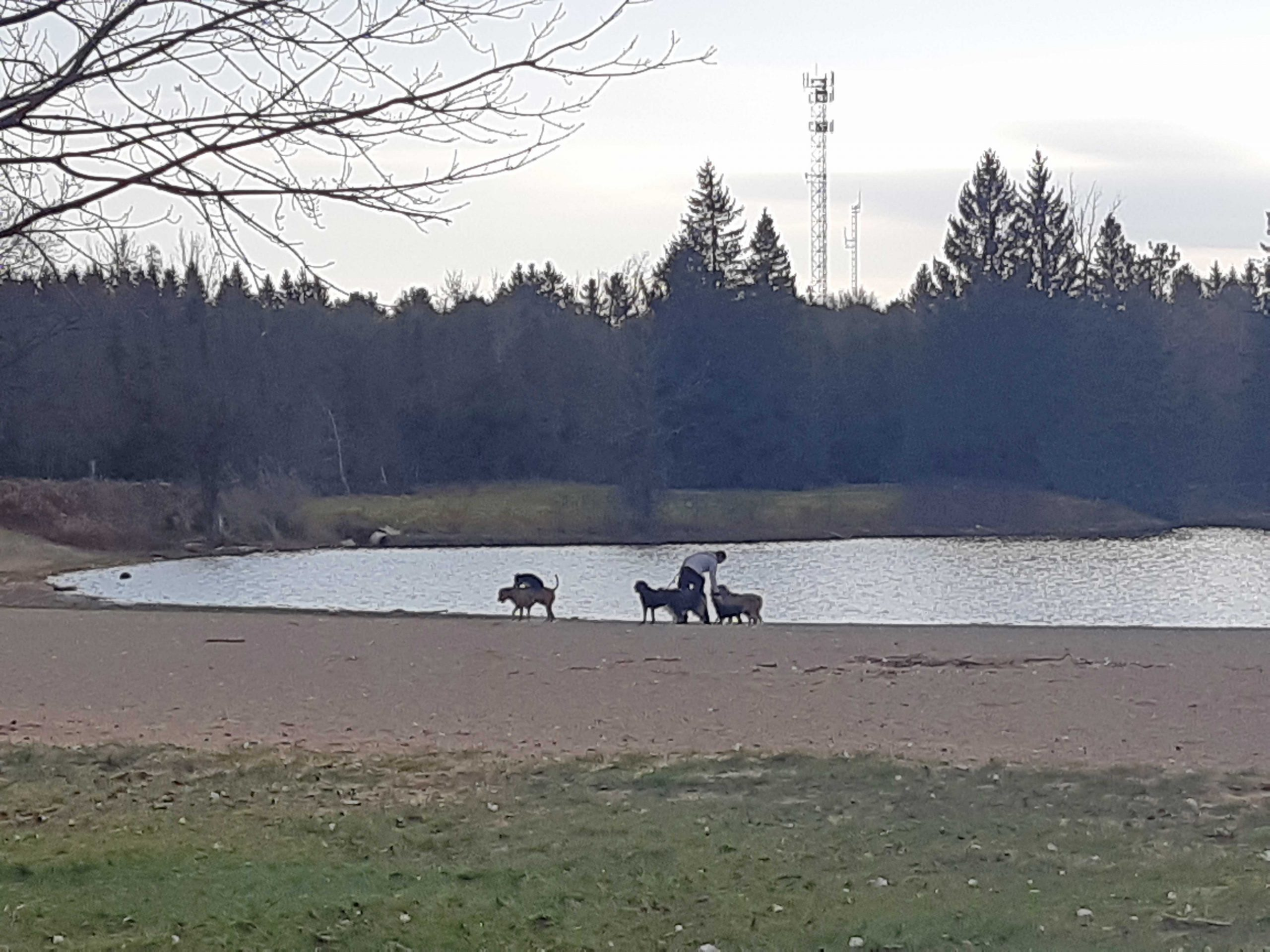 Dog walker with dogs by a pond