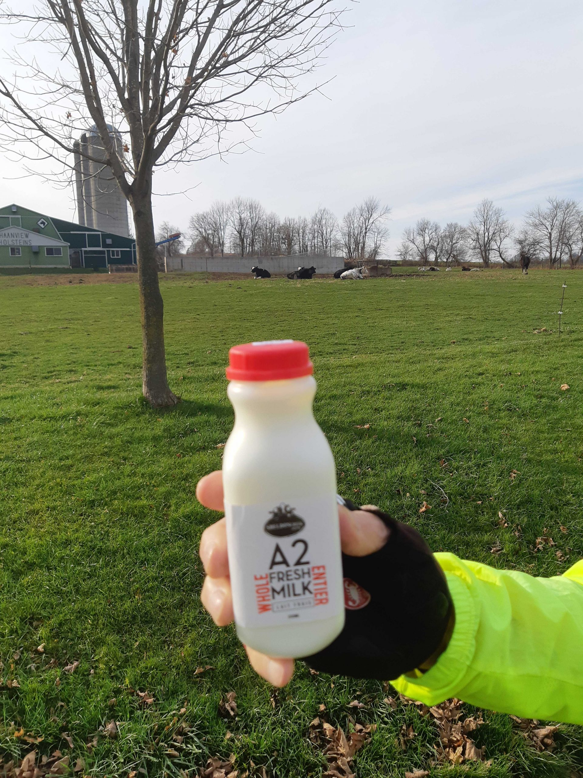 bottle of milk infront of cows in a pasture
